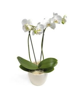 Phalaenopsis - 2 takkig wit