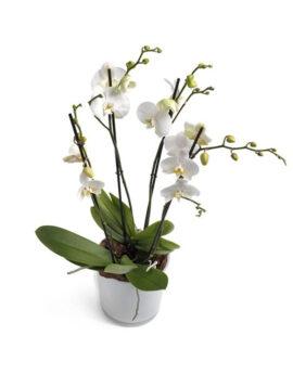 Phalaenopsis - 4-takkig wit