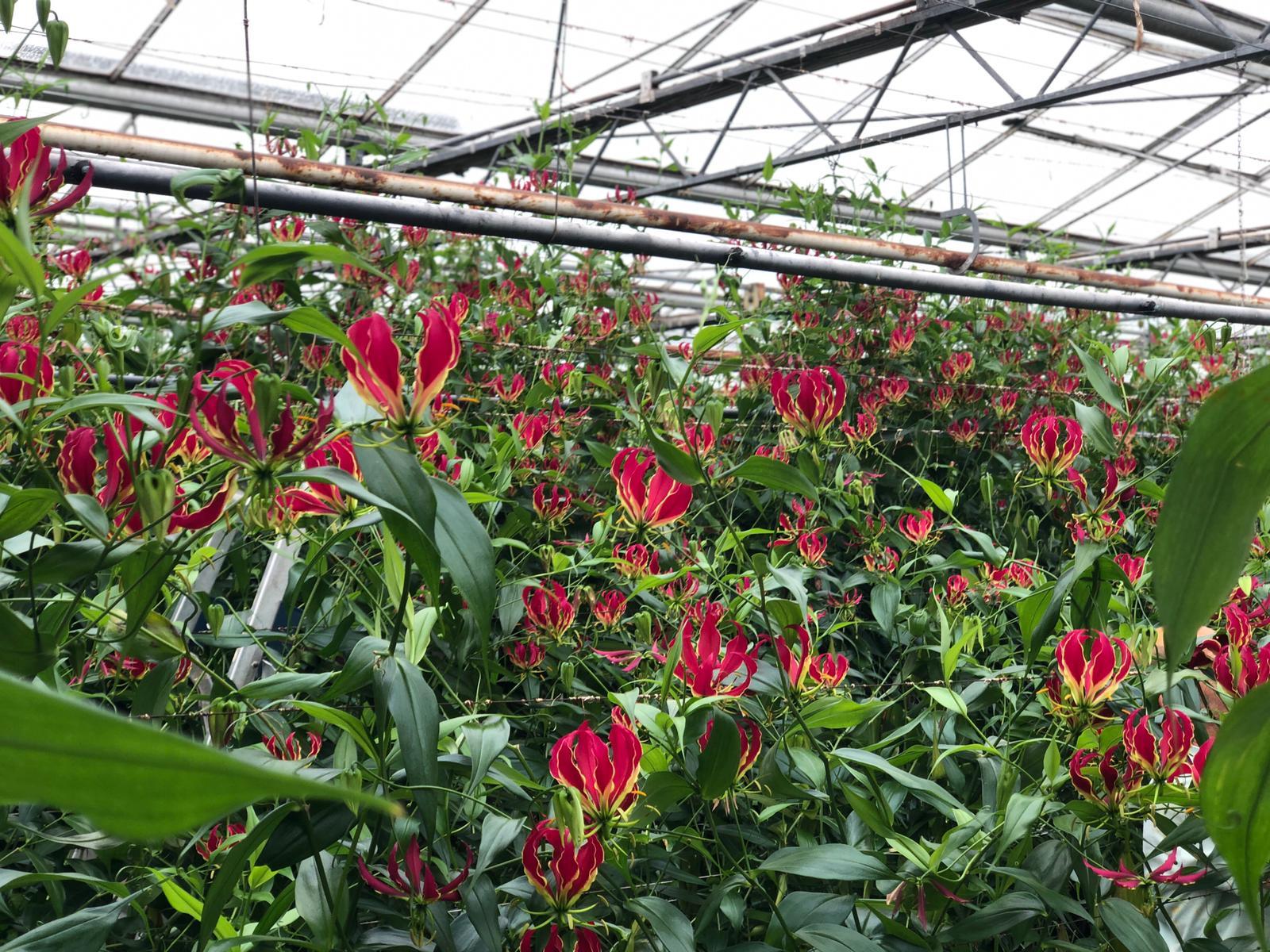 Op bezoek bij een Gloriosa kwekerij waar de Gloriosa volop in bloeistaat.